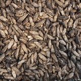 Freeze-dried house crickets 70 grams_